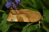 Nachtvlinder, Noctua fimbriata