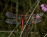 Zwervende heidelibel, Sympetrum fonscolombii
