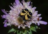 Penseelkever, Trichius fasciatus