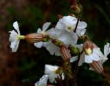 Blaassilene, Silene vulgaris