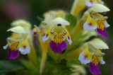 Dauwnetel, Galeopsis speciosa