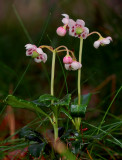 Familie wintergroen , Chimaphila umbellata var. acuta
