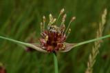 Allium olevaceum