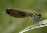 C.s. caprai, female