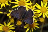 Bruine vuurvlinder man met blauwe bestuiving