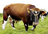 Koe met ballen, brandrode (jonge) stier van zuiver bloed