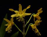 Dendrobium brymerianum, Ueang Kham Foi Pai     4,5 cm