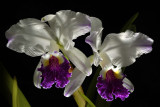 Gallery  cattleya and Laelia orchids
