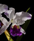 Cattleya lueddemaniana semi-alba var. stanleyi  botanic , rare