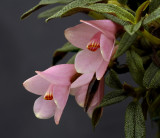Dendrobium cuthbersonii ,  pink phase