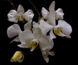 Phalaenopsis amabilis , Borneo, flowers 5 cm