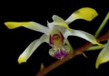 Dendrobium canaliculatum