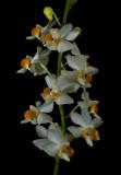 Phalaenopsis pulcherrima, white