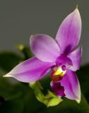 Phalaenopsis violacea, 4 cm