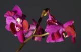 Phalaenopsis pulcherrima ssp.