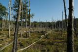 Veluwe, dode bomen, nog uit de tijd van de zure regen
