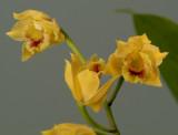 Stenocoryne vitellina, flowers 2 cm