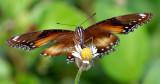 Menacing looking butterfly
