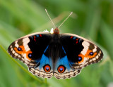 That butterfly again - Blue Pansy (Male)