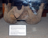 Lower jaw of Elephantoides 1,200,000 to 700,000 years old