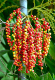 Fruits and Seeds of Indonesia