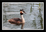Great Crested Grebe 2007 Part II