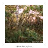 White Birch & Sumac