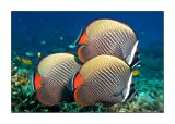 Butterflyfish threesome