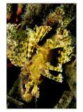 Little scorpion hidden in Nacala algae