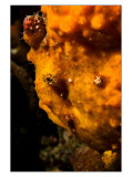 Bay Diving resident Frogfish