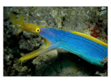 Blue Ribbon Eel : a common sight in Nacala