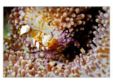 Nacala Anemone Shrimp