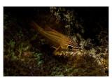 Pemba red fish