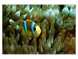 Pemba clownfish