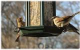Sparrows Dec. 2006