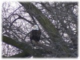Eagle at 6th St. bridge