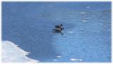 Geese in blue water