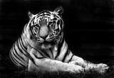 Tiger in BW