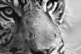 Tigre_BW