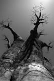 Baobab_BW
