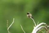 Colibri à gorge rubis (Hummingbird), Eastman