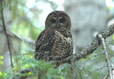 Spotted Owl 0604-4j  Chinook Pass