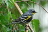 Yellow-rumped Warbler 0407-7j  Yard