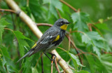 Yellow-rumped Warbler 0407-10j  Yard