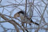 Loggerhead Shrike 0207-6j  Box Canyon, AZ