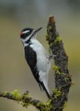 Hairy Woodpecker 0907-2j  La Pine, OR