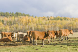 Cows west of Englehart