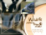 Wildlife ( scans from Slides )