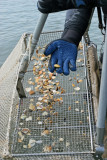 Vacances dans le Languedoc - Pêche artisanale de tellines
