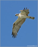 Osprey in Flight 18